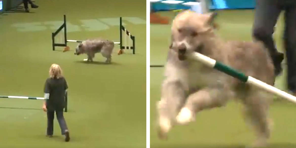 Big Fluffy Dog Fails At Agility Course Again...And It's Adorable