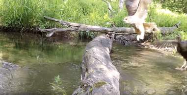 animals cross log