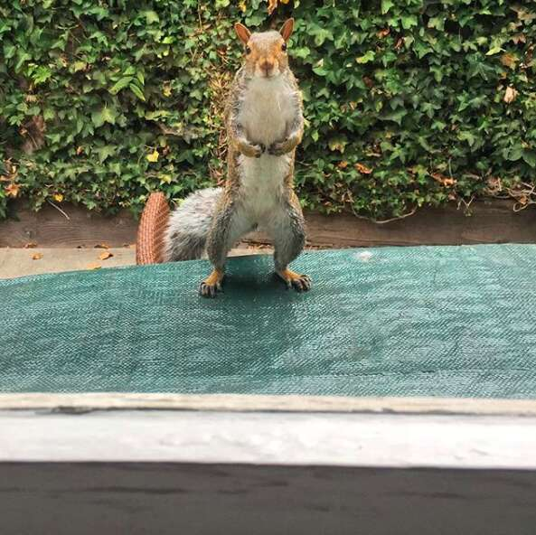 Stymie the squirrel asks to be let in