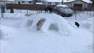 Dogs explore snow tunnels in Canada