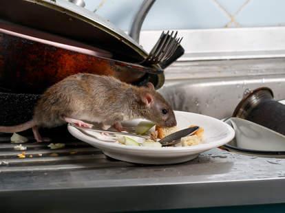 egg mcmuffin rat