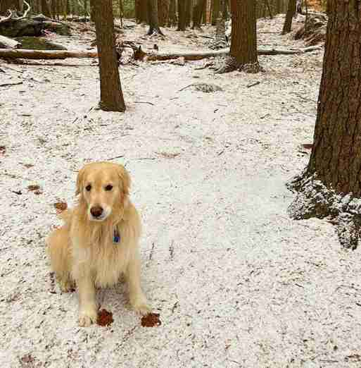 Stella the golden retriever gets dirty on a hike in the snow