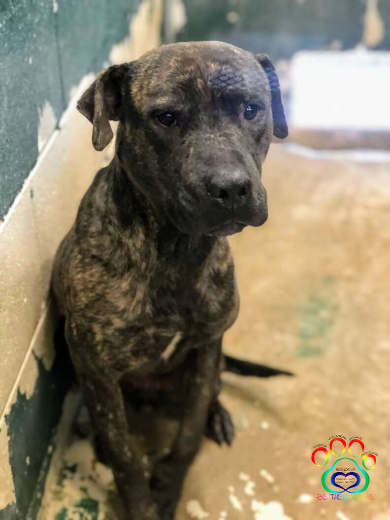 Ezra the brindle pittie waits to be adopted