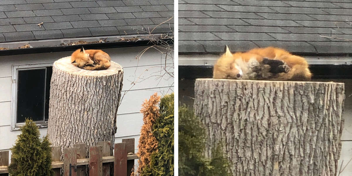 Adorable Little Fox Caught Napping On A Tree Stump
