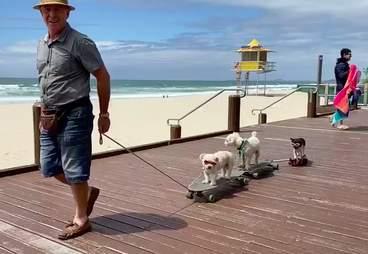 Dogs on skateboards roll down the boardwalk