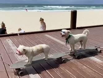 A dog train on skateboards in Australia