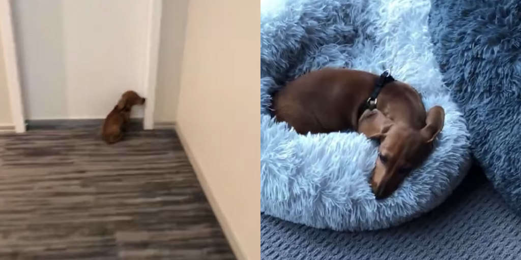 Dog Rushes Home Every Day So He Can Get Right Into Bed