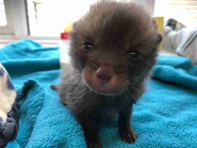 Fox cub mistaken for kitten
