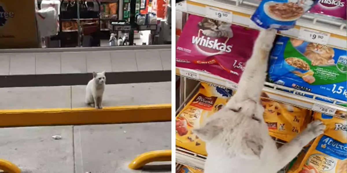 Clever Cat Visits Store Every Day To Ask People To Buy Him Treats