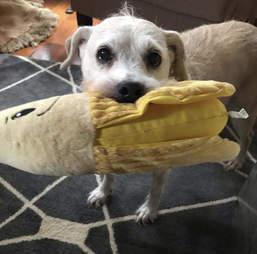 Tessa the senior dog loves her banana