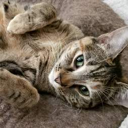 Aurora the cat who loves ballet