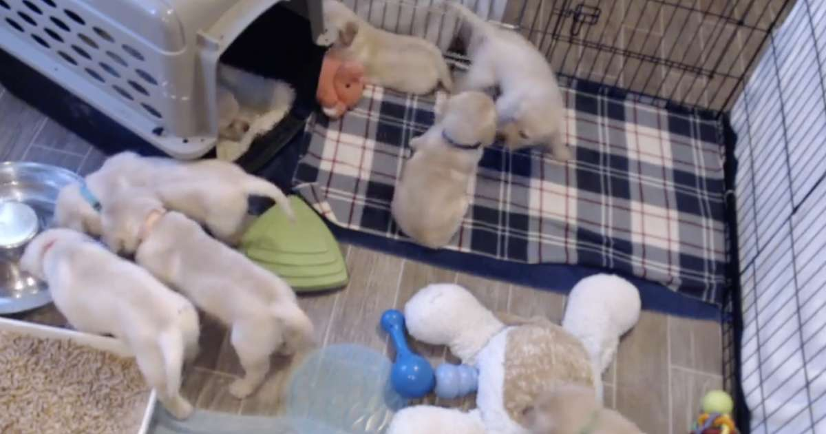 This Livestream Of Future Service Dog Puppies Will Make Staying At Home A Lot Easier