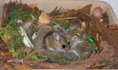 A rescued white-footed deer mouse builds a nest
