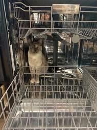 cat climbs microwave