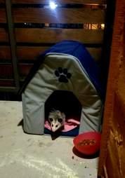 possum pretends to be a cat