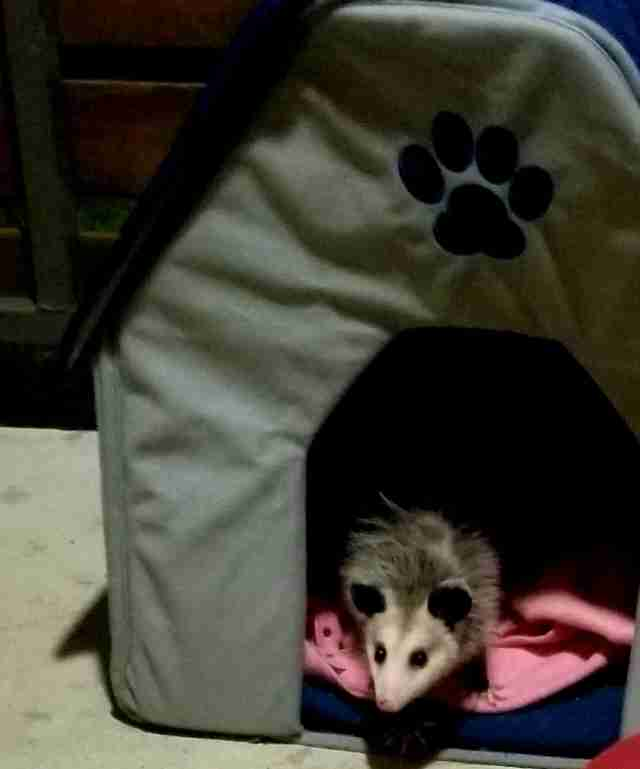possum pretends to be a cat