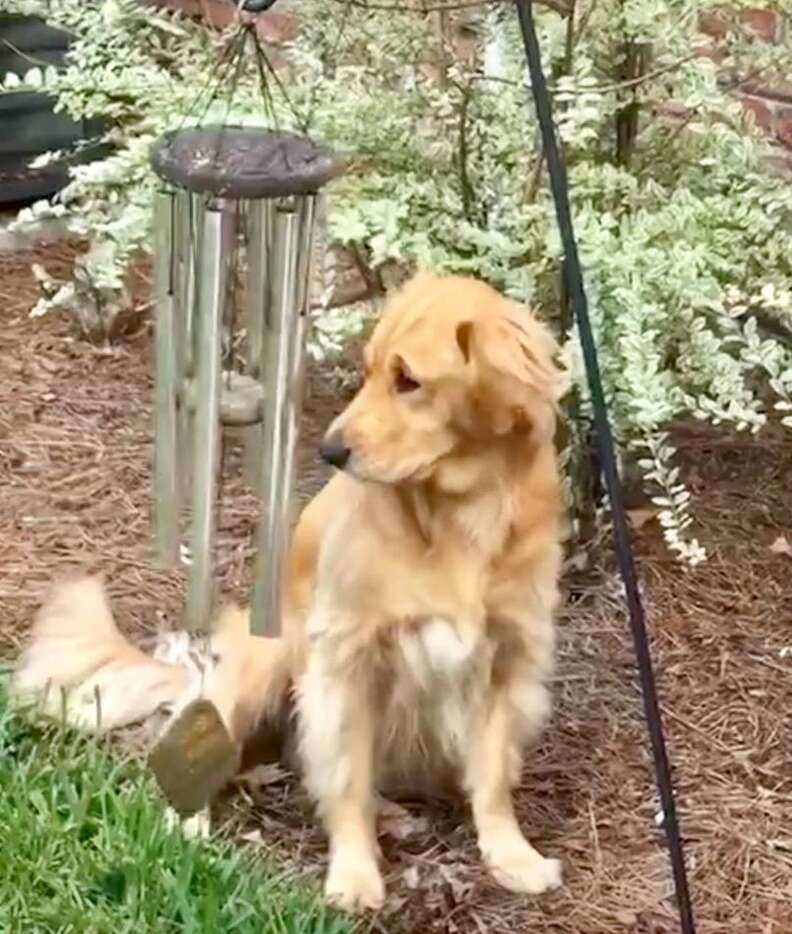 Golden retriever plays the wind chimes