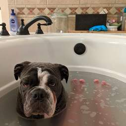 Dog jumps in the tub with his dad