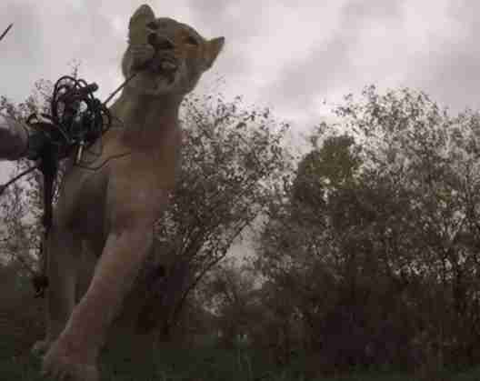 Lioness steals fancy camera and runs