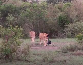 Lioness steals camera