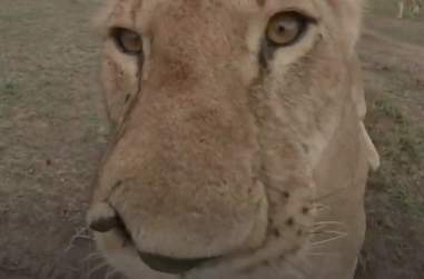 Lioness sinks teeth into virtual reality camera