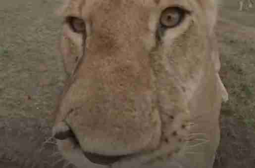 Lioness sinks teeth into virtual reality camera