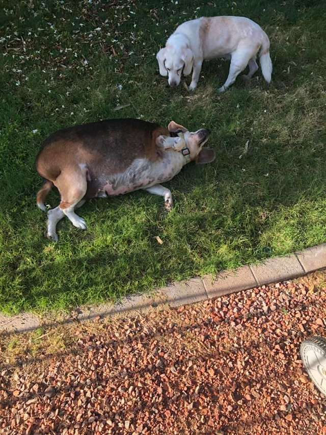 Wolfgang the obese beagle plays in the yard