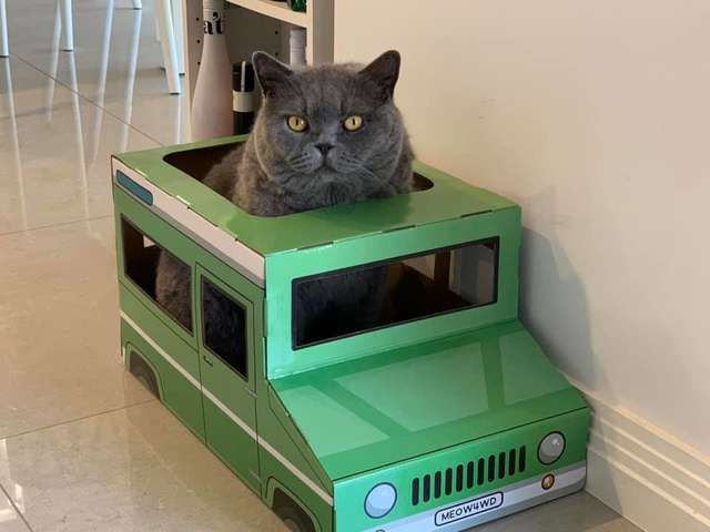Cat Falls in Love with a Cardboard Jeep