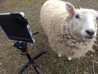 goats on zoom calls