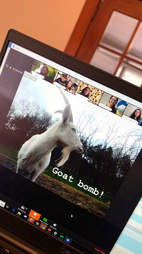 goats on zoom calls