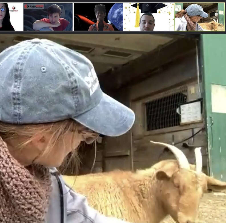 goats on zoom call