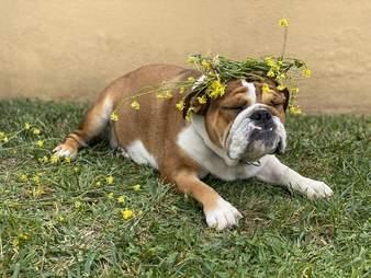 Muffin the bulldog puppy wears a flower crown