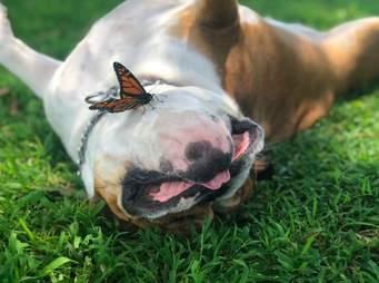 Butterfly lands on bulldog's face