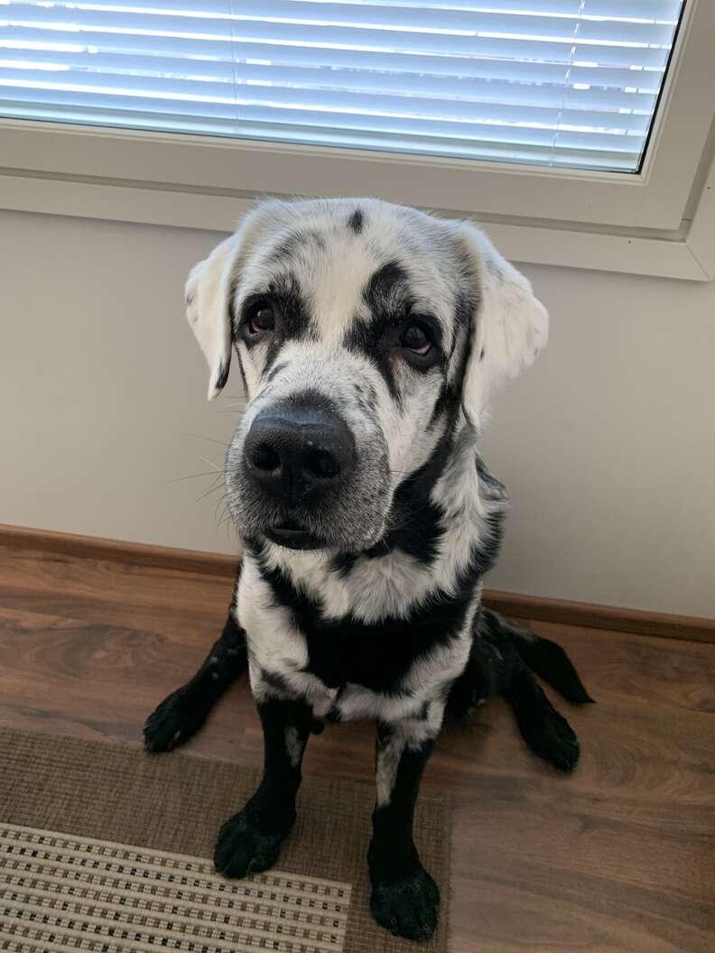 Blaze the black Labrador retriever with vitiligo
