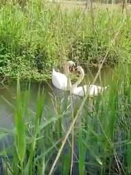 Swan mates have touching reunion
