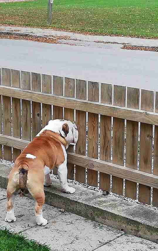 Bogart the bulldog sticks his face through a hole in the fence