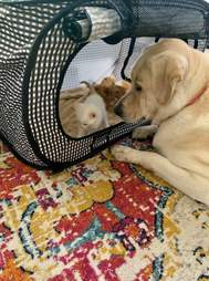 yellow lab loves foster kittens