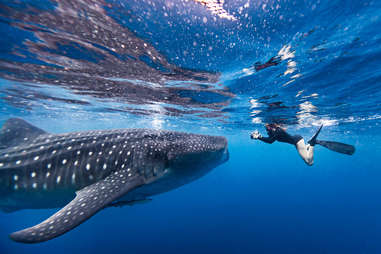 divers swimming with whale sharks off the coast of Isla Mujeres ,Mexico