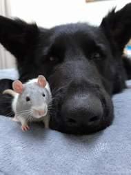 Nuka the German shepherd and his rat friend