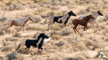Wild horse in Oregon with horse-shaped markings