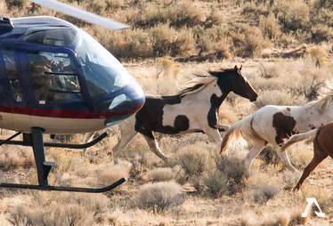 Wild horses being rounded up by the BLM