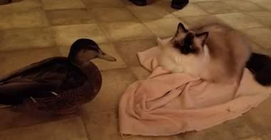 rescue duck