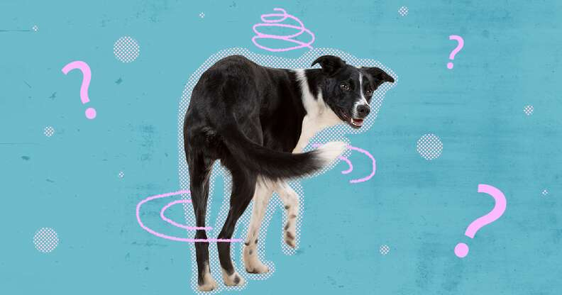 Dog spinning