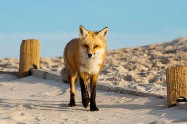 a fox on a beach