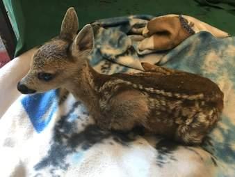 rescued baby deer