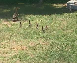 Ducklings following their mom around a backyard