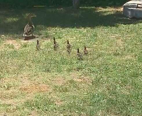 Ducklings following their mom around a backyard