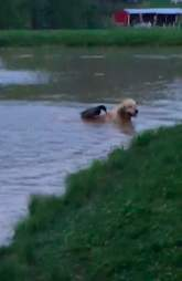 Dog and duck swim together