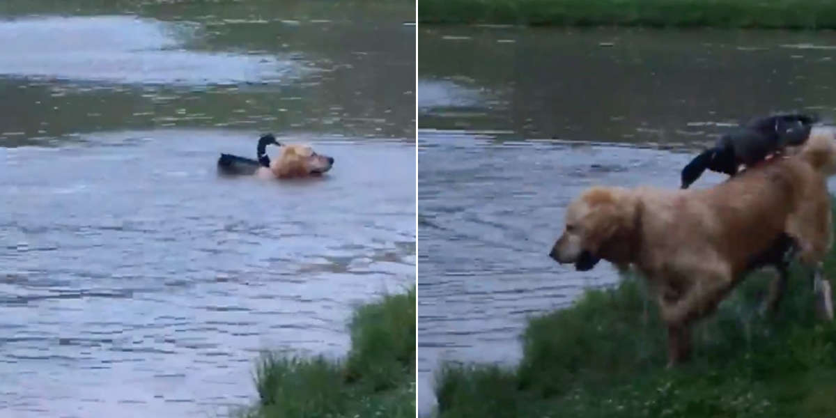 Wild Duck Meets A Dog And Decides They're Best Friends
