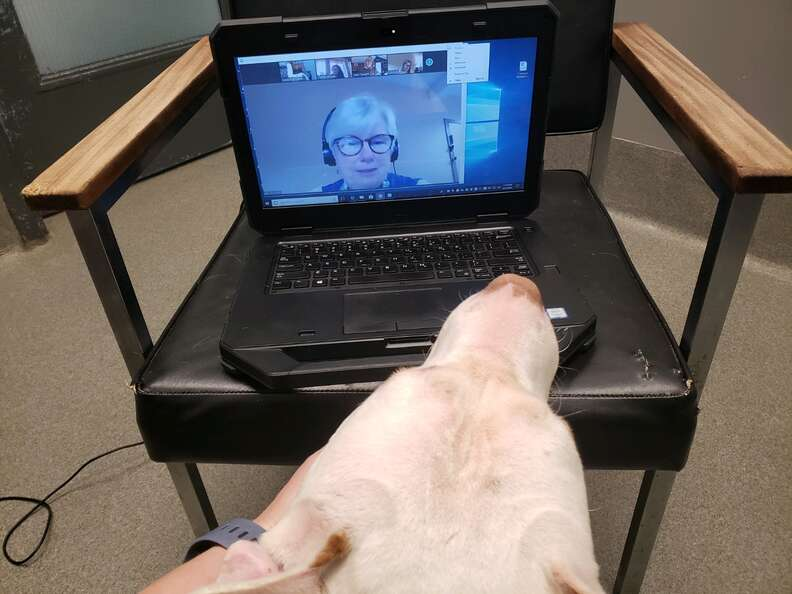 Shelter pit bull on a virtual meeting